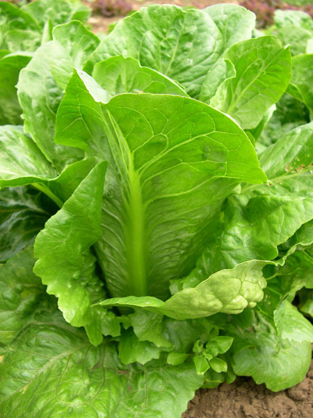 Dark Green Romaine (Lettuce)