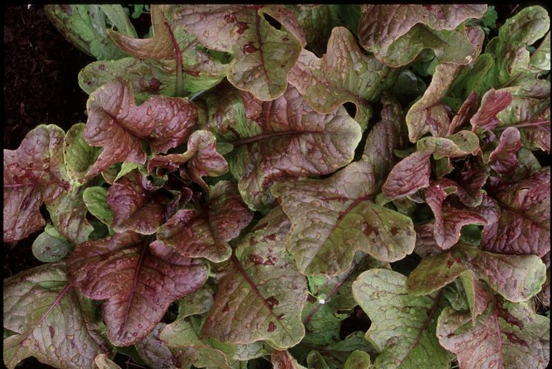 Oaky Red Splash (Lettuce)
