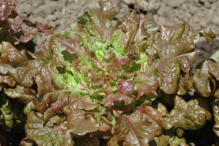 Redder Ruffled Oak (Lettuce)