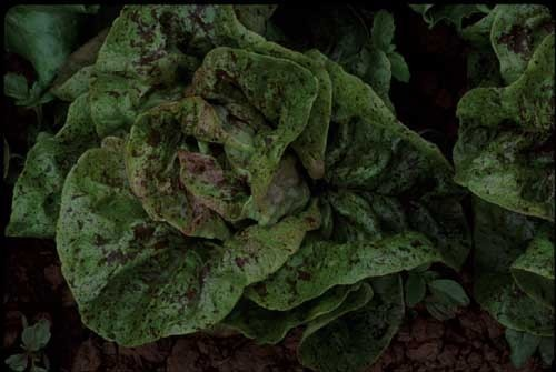Speckled Amish Butterhead (Lettuce)