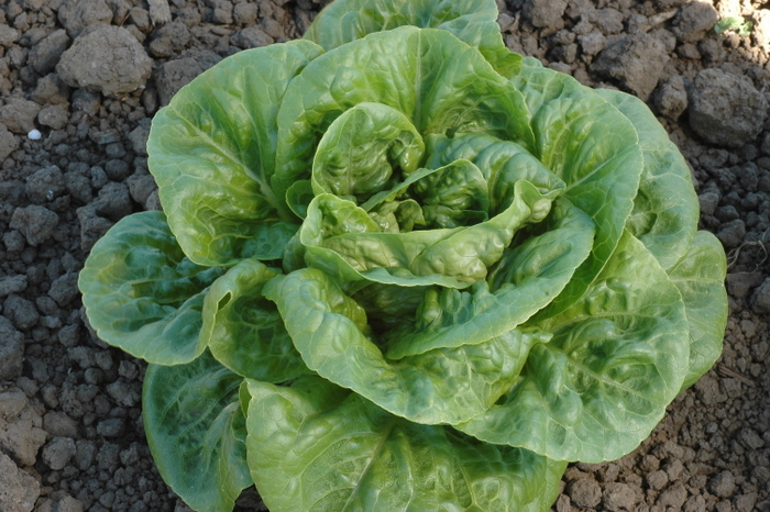 Winter Density (Lettuce)