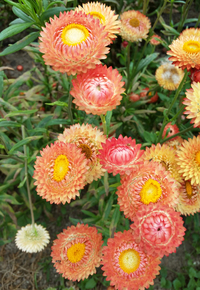 Apricot/Peach Mix Helichrysum/Straw Flower