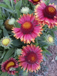 Arizona Red Shades (Gaillardia/Blanket Flower)