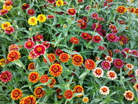 Aztec Sunset Mix Zinnia