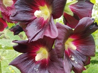Black (Hollyhock)