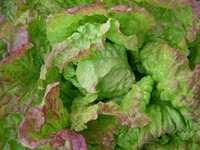 Blushed Butter Cos (Lettuce)