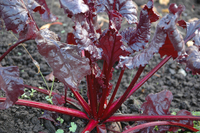 Bulls Blood Beet (Beet Leaf-Chard)