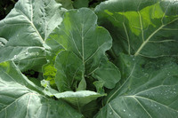 Champion (Collards)