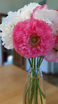 Double Whoopee Corn Poppy