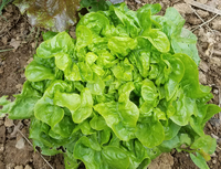 Emerald Oak (Lettuce)