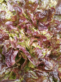 Fine Speckled Oak Lettuce