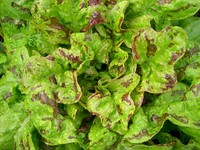 Flashy Butter Oak (Lettuce)