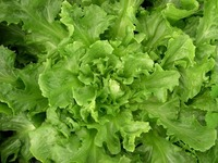 Golden Giant (Endive & Escarole)