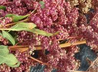 Magenta Sunset Quinoa