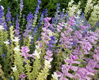 Marble Arch Mix II Salvia/Sage