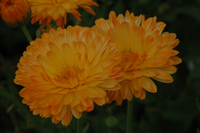 Orange Sherbet (Calendula)