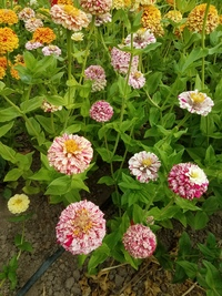 Peppermint Stick (Zinnia)