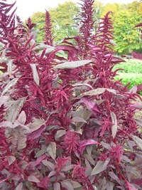 Polish (Amaranth)