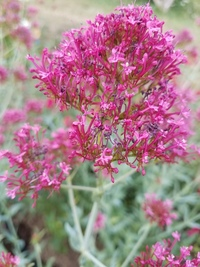 Pretty Betsy Centranthus