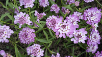 Rose Cardinal (Iberis/Candytuft)