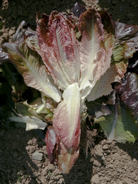 Ruby Gem (Lettuce)