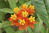 Silky Red (Asclepias/Milkweed)