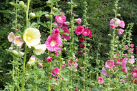 Summer Carnival Mix (Hollyhock)