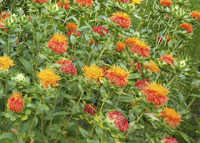 Superior Orange (Carthamus/Safflower)