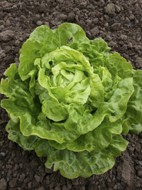 Tom Thumb (Lettuce)