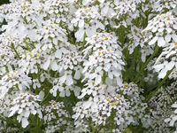 White Pinnacle (Iberis/Candytuft)