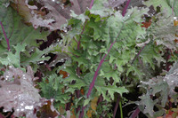 Winter Red (Kale: Ruso-Siberian)