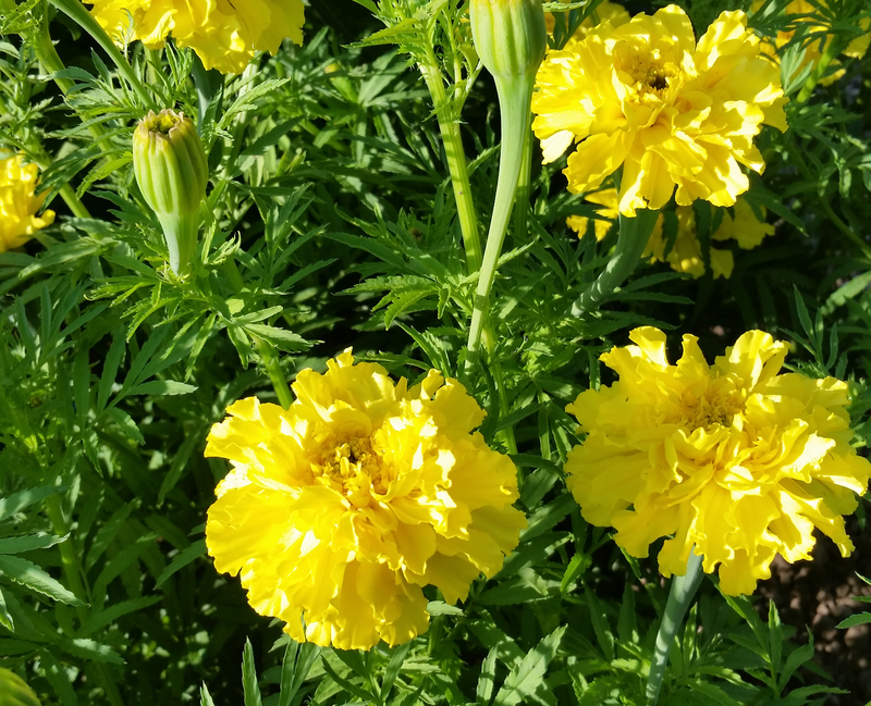 Afternoon Lemonade (Marigolds)