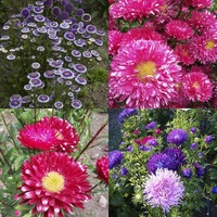 Aster/China Aster