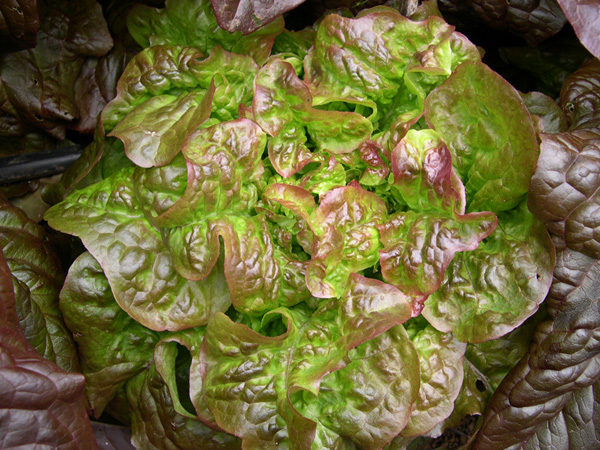 Blushed Butter Oak (Lettuce)