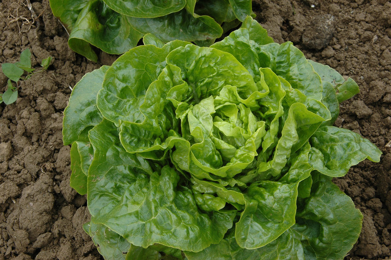 Chartreuse Butter Tongue (Lettuce)