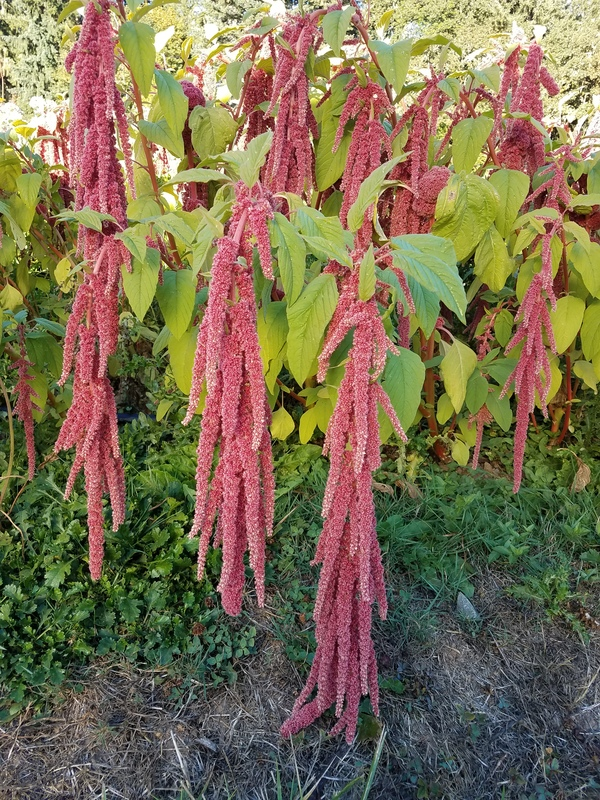 Coral Fountains (Amaranth)
