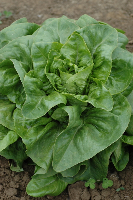 Deer Tongue (Lettuce)
