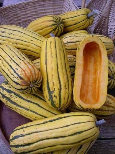 Delicata Zeppelin (Winter Squash)