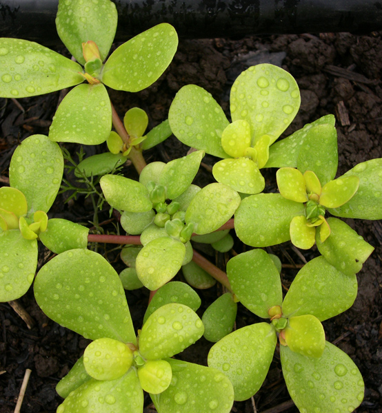 Golden (Purslane)