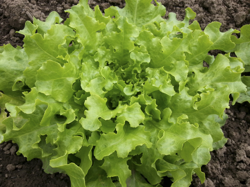 Wild Garden Seed: Organic Green Salad Bowl (Lettuce) Seeds