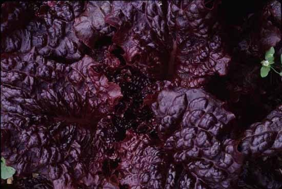 Hyper Red Rumple Waved (Lettuce)