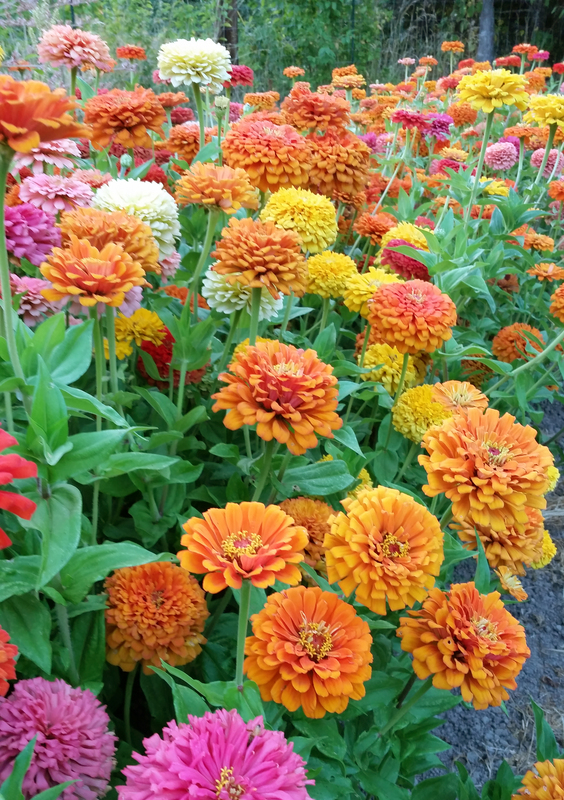 Jim Baggett's Choice Mix (Zinnia)