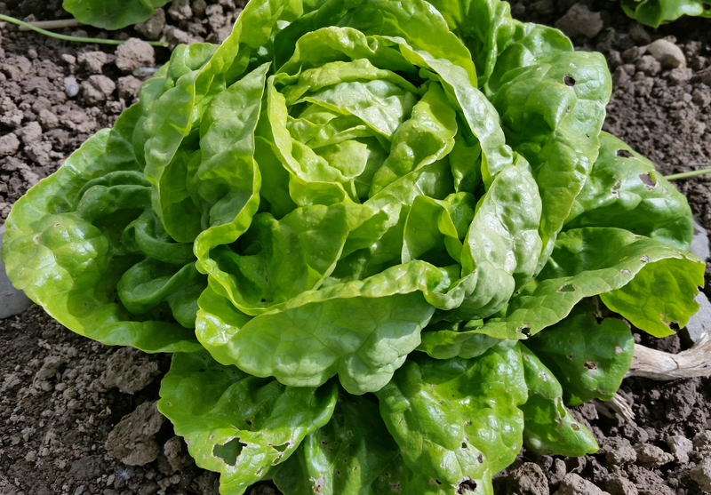 Landis Winter (Lettuce)