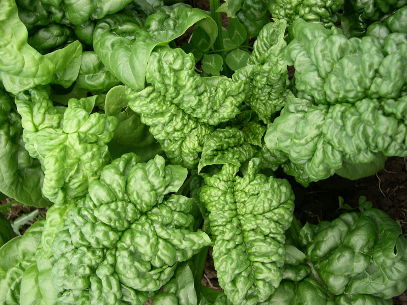 Long Standing Bloomsdale (Spinach)