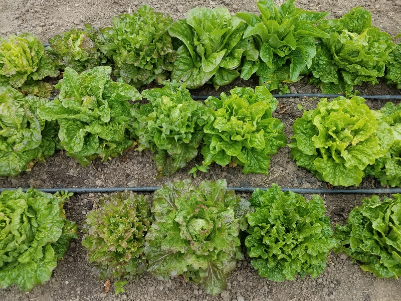 Morton's Secret Lettuce Mix 2020 (Lettuce)