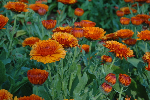 Orange Barrel Flashback (Calendula)