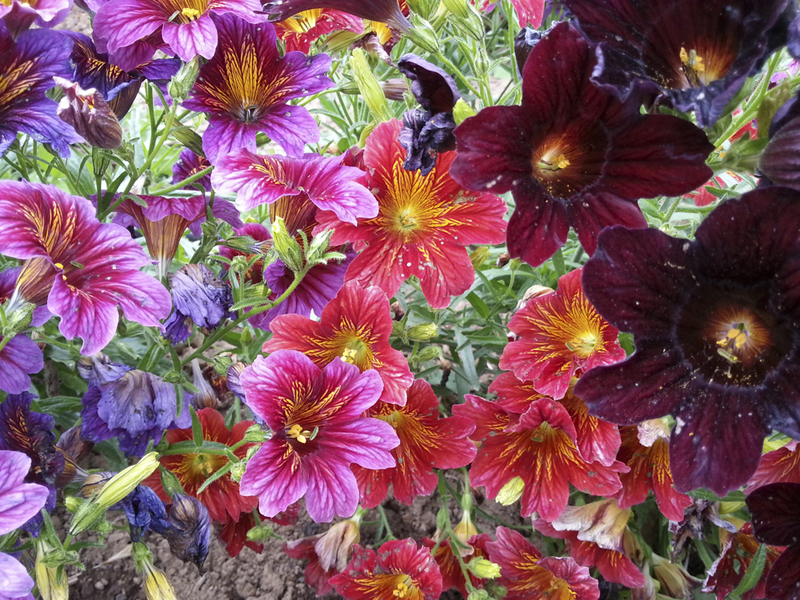 Painted Tongue Royal Mix (Salpiglossis/Painted Tongue)