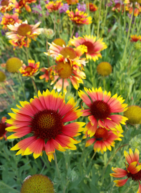 Painter's Palette (Gaillardia/Blanket Flower)