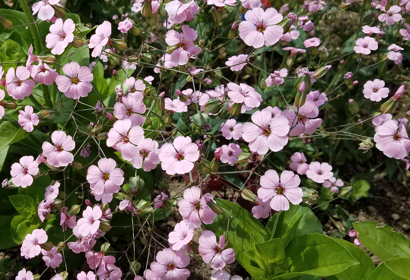 Pink Beauty (Saponaria)