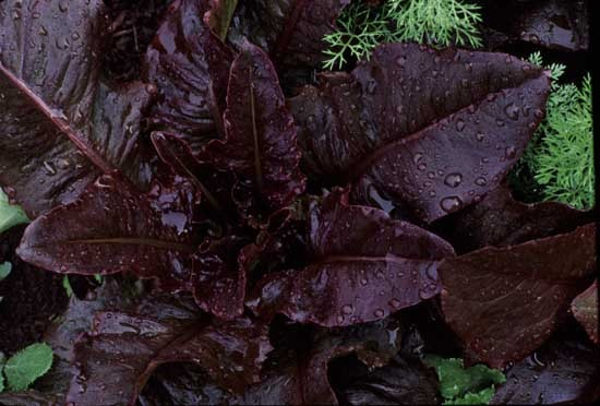 Really Red Deer Tongue (Lettuce)